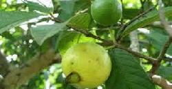 Guava Tree Cultivation Tips