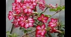 Adenium Plants Care Tips