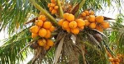 Coconut Cultivation Tips