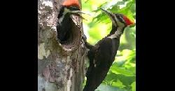 Woodpecker Bird in Kerala