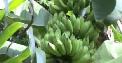 Tips for Banana Cultivation