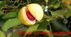 ജാതിക്ക പൊഴിയല് എങ്ങനെ തടയാം Nutmeg Cultivation | Diseases