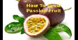 പാഷൻ ഫ്രൂട്ട് How To Grow Passion Fruit
