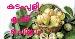 കുടംപുളി കൃഷി | Kudampuli Krishi (Garcinia gummi-gutta)