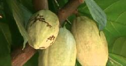 കൊക്കോ Coco Fruit Use To Make Chocolate