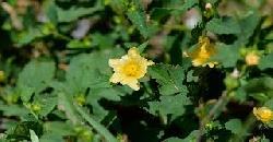 തനി നാടന് ഔഷധസസ്യം കുറുംതോട്ടി Kurunthotti Herbal Plant