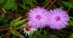 Herbal Plant Thottavadi Uses