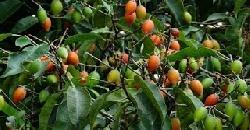 ഔഷധഗുണമുള്ള ഇലഞ്ഞി Herbal Plant Mimusops Elanji Bakula
