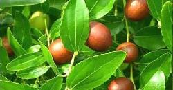 Fruits And Plants ഇലന്ത അമരത്വത്തിന്റെ പഴം