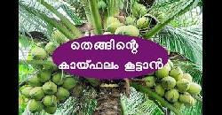തെങ്ങിന്റെ കായ്ഫലം കൂട്ടാൻ Coconut Cultivation